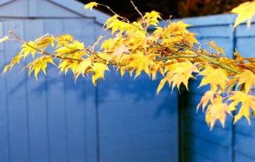 Maple Yellow