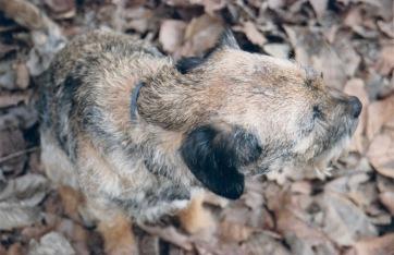 Hamish Border Terrier