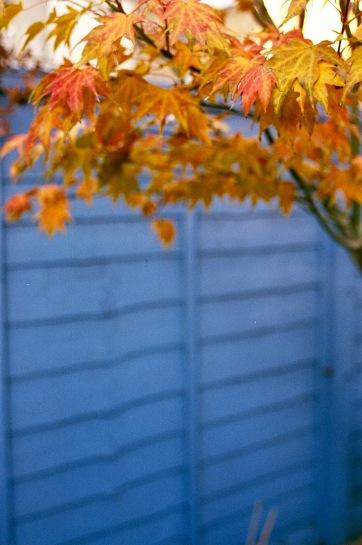 Maple Orange and Blue