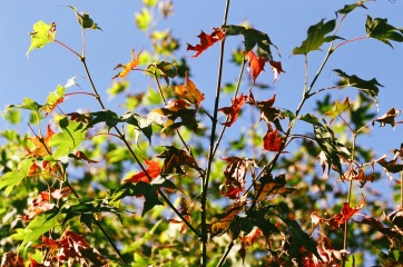 Red Green Leaves